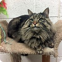 Adopt A Pet :: Diva - North Las Vegas, NV