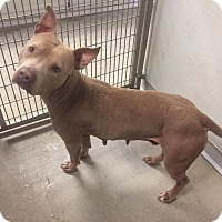 Adopt A Pet :: Ginger - Humble, TX