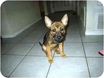 German Shepherd Dog Mix Puppy for adoption in Irvine, California - Hope