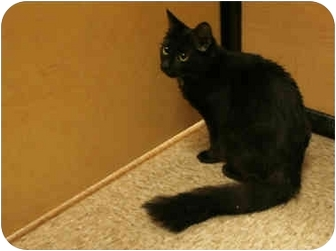 Bombay Cat for adoption in Orlando, Florida - Fluffy