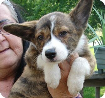 "Corgi Mix Puppy for adoption in Afton, Tennessee - Corgi Pup 4  ""Shemp"""