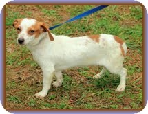Dachshund/Chihuahua Mix Dog for adoption in Windham, New Hampshire - Longfellow (In New England)