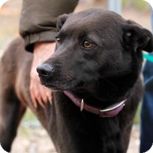 Labrador Retriever/Terrier (Unknown Type, Medium) Mix Dog for adoption in Athens, Georgia - Kumba