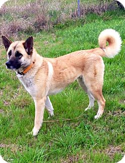German Shepherd Dog/Akita Mix Dog for adoption in Greenville, Texas ...