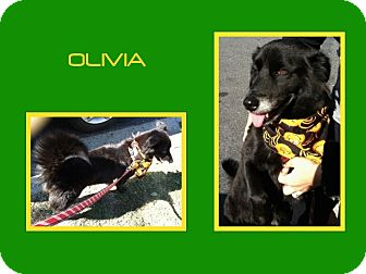 Border Collie/Border Collie Mix Dog for adoption in Dallas, North Carolina - OLIVIA