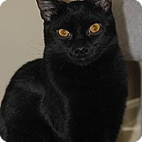Domestic Shorthair Cat for adoption in Philadelphia, Pennsylvania - Almond