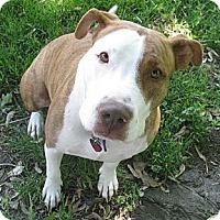 Adopt A Pet :: Vayda - Detroit, MI