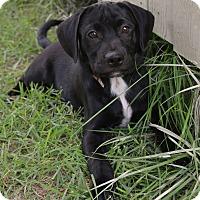 Adopt A Pet :: *Klaus - PENDING - Westport, CT
