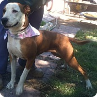 Staffordshire Bull Terrier Dog for adoption in Santa Clarita, California - Gabby