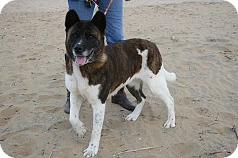 Akita Dog for adoption in Virginia Beach, Virginia - Reyka