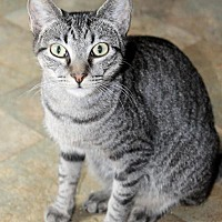 Domestic Shorthair Cat for adoption in Memphis, Tennessee - Tussie