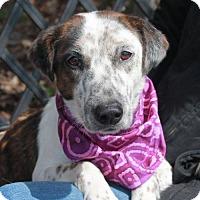 Adopt A Pet :: Allie-PENDING - Garfield Heights, OH