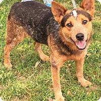 Adopt A Pet :: Beau - Texico, IL