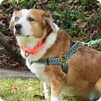 Corgi/Beagle Mix Dog for adoption in Santa Monica, California - Flora (Beautiful and Spunky!)