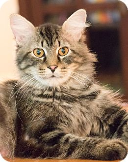 Maine Coon Cat for adoption in Chicago, Illinois - Rock