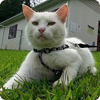 Adopt A Pet :: Hello Kitty - Shinnston, WV