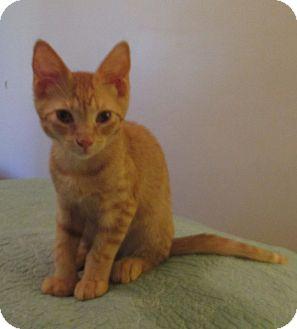 Domestic Shorthair Kitten for adoption in Bronx, New York - SKIP
