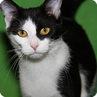 Domestic Shorthair Cat for adoption in Marietta, Ohio - Sookie (Spayed)