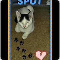 Domestic Shorthair Kitten for adoption in Highland, Michigan - Spot