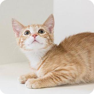 Domestic Shorthair Kitten for adoption in St. Paul, Minnesota - Goldfish