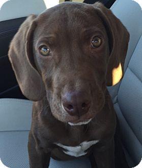 Labrador Retriever Mix Puppy for adoption in Broomfield, Colorado - Cooper