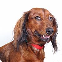 Adopt A Pet :: Tank - Sudbury, MA