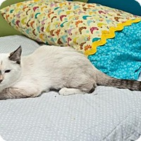 Siamese Cat for adoption in Tuskegee, Alabama - Lily