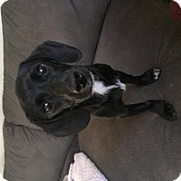 Dachshund Mix Dog for adoption in Palm Harbor, Florida - Cooper2