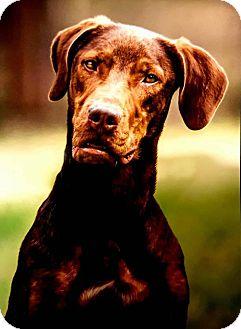 Labrador Retriever/Vizsla Mix Dog for adoption in Denver, Colorado - Hogan