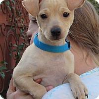 Adopt A Pet :: Petey - Sonoma, CA