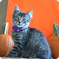 Domestic Shorthair Kitten for adoption in Manhattan, Kansas - Gidget