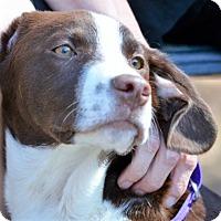 Adopt A Pet :: Hank ~ ADOPTED! - Brattleboro, VT