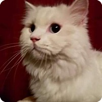 Ragdoll Cat for adoption in Ennis, Texas - Arctic