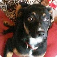 Adopt A Pet :: Blaze/Emmy - Concord, CA