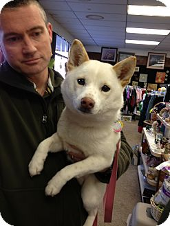 Shiba Inu Dog for adoption in Ogden, Utah - Holly
