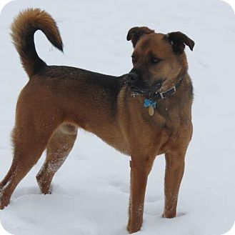German Shepherd Dog/Boxer Mix Dog for adoption in Guelph, Ontario - Boom Boom Courtesy Post