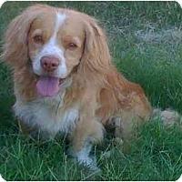 Adopt A Pet :: Brewster - Gilbert, AZ