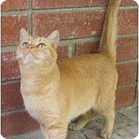 Adopt A Pet :: Marmalade - Davis, CA