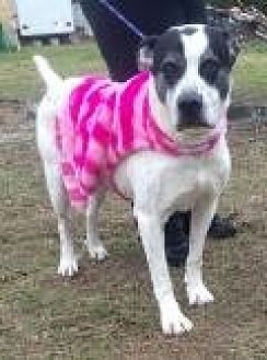 Dalmatian/Pit Bull Terrier Mix Dog for adoption in Summerville, South Carolina - Umba