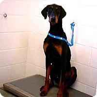 Adopt A Pet :: Duke - Tracy, CA