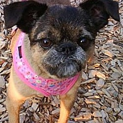 Photo 2 - Brussels Griffon Mix Dog for adoption in Mesa, Arizona - VOLUNTEERS NEEDED IN AZ & NV