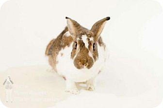 Flemish Giant for adoption in London, Ontario - Purslane (Percy)
