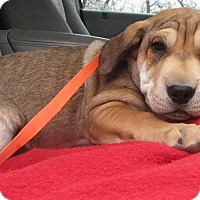 Adopt A Pet :: Beth - Oakland, AR