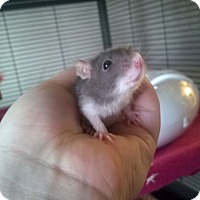 Adopt A Pet :: 5 Female Baby Rats - Aurora, IL