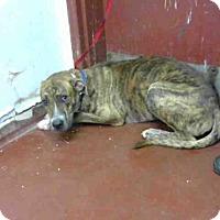 Adopt A Pet :: LUCIUS - Atlanta, GA