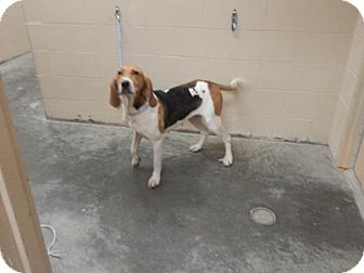 Treeing Walker Coonhound Mix Dog for adoption in Pikeville, Kentucky - Betsy