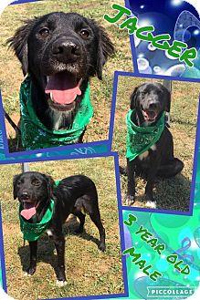 Labrador Retriever Mix Dog for adoption in Lexington, North Carolina - JAGGER
