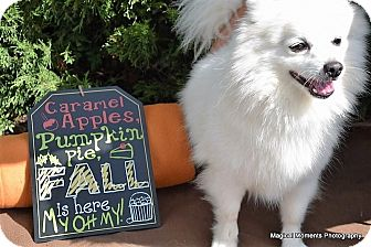 Pomeranian/Eskimo Spitz Mix Dog for adoption in Edmond, Oklahoma - Snoopy