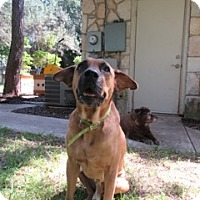 English Mastiff Mix Dog for adoption in Von Ormy, Texas - Bogey