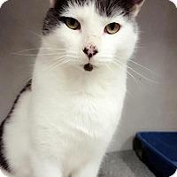 Adopt A Pet :: Dorian Gray - Chaska, MN